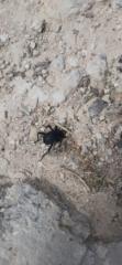 Dung beetle in desert soil, Herodium National Park