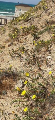 Evening primroses in kurkar. Apollonia