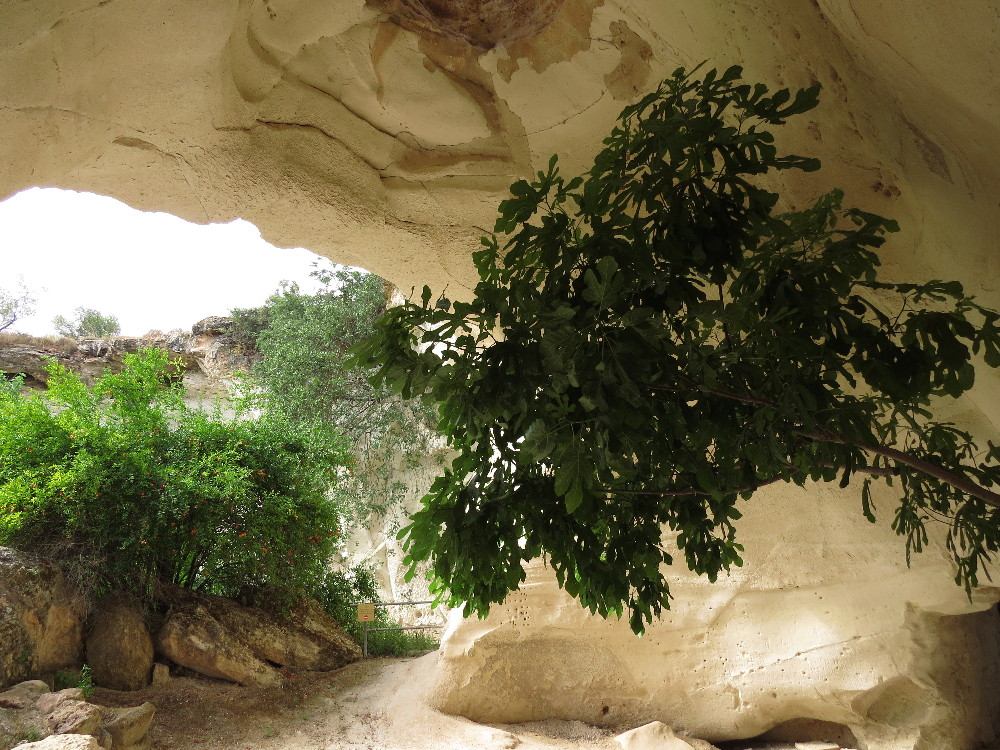 Figs in a bell cave. Beit Guvrin National Park