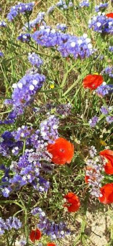 Glaucium conrniculatum (red horned poppy) and Limonium virgatum (sea lavender). Apollonia National Park
