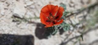 Gllaucium conrniculatum at Herodium National Park