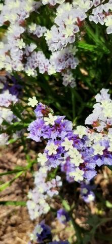 Limonium virgatum (Violet sea lavender). Apollonia National Park