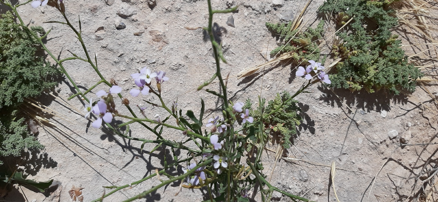 Looks like Maresia pulchella. Found at Herodium after a rainy season