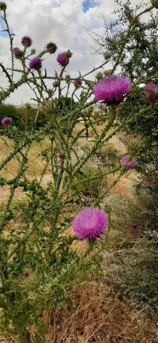 Pretty prickles at Beit Guvrin National Park