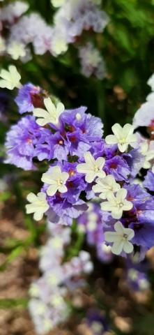 Violet sea lavender (Limonioum virgatum). Apollonia National Park