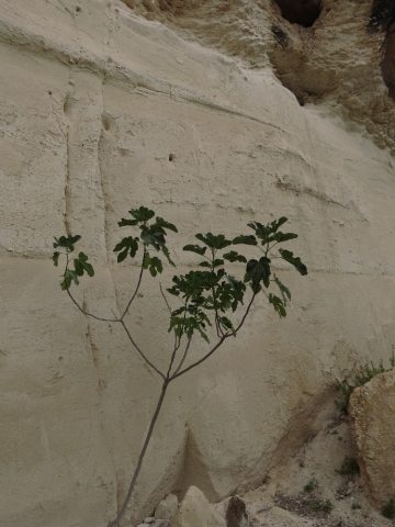 White chalk wall and fig. Beit Guvrin National Park