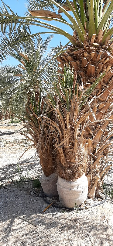 Date palms ready for planting near Ovnat