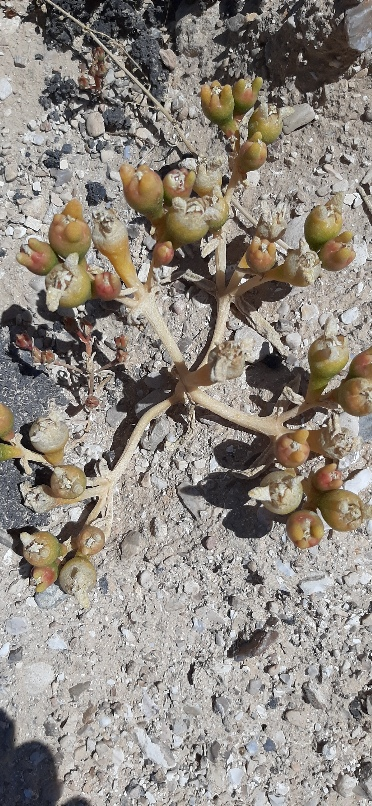 Desert plant by fence of nature reserve. Einot Tzukim Nature Reserve
