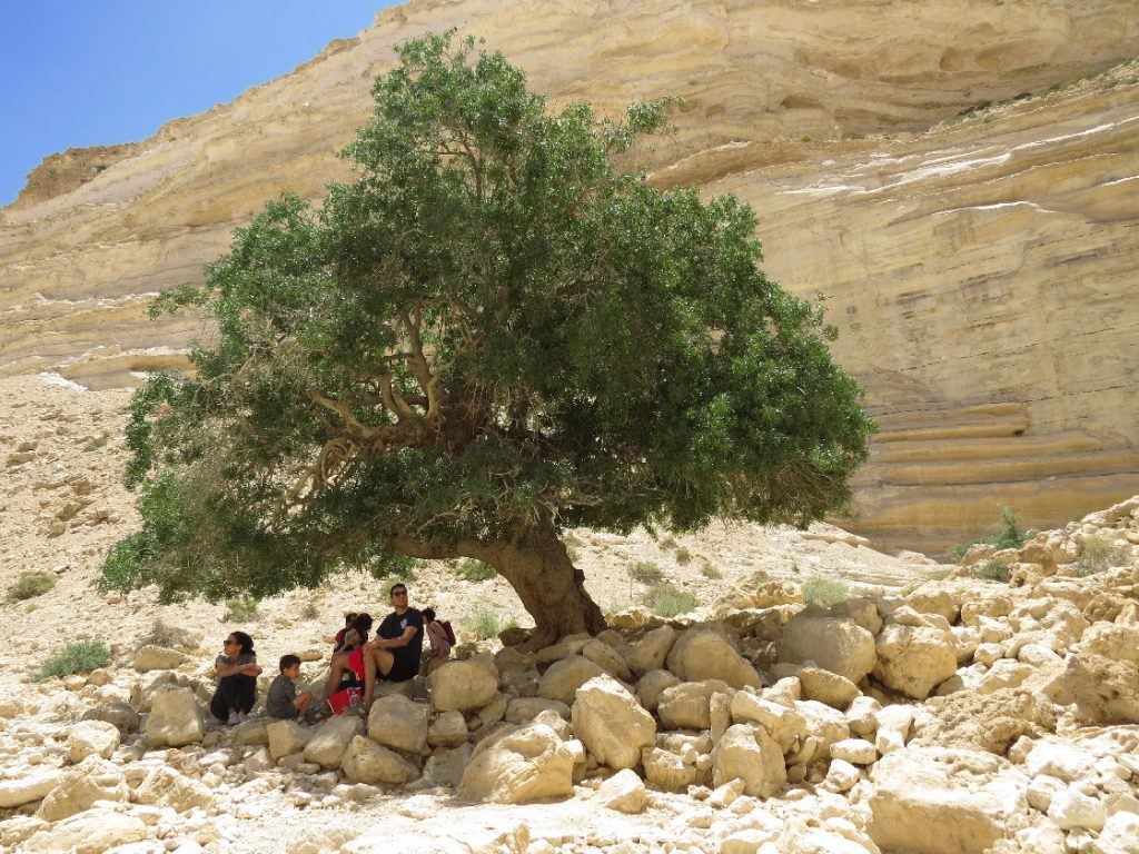 Family resting under 250-year-old Pistachio. Ein Avdat National Park