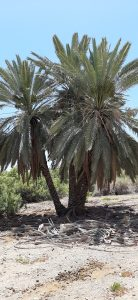 Fractionating at source. Beutiful palm trees at Einot Tzukim Nature Reserve