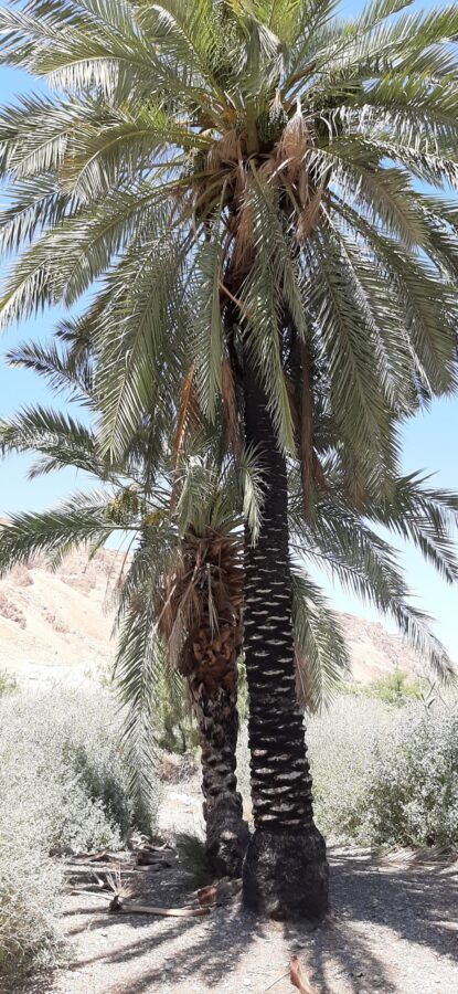 Magnificent palm trees at Einot Tzukim Nature Reserve