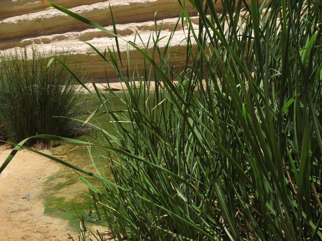 Reeds, Ein Avdat