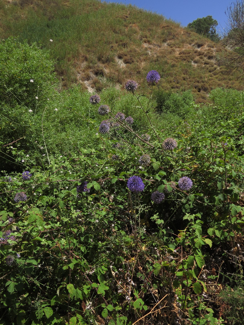 Echinops and blackberry at Iyon Stream Nature Reserve, Israel
