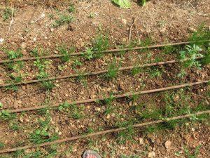 Onions on drip. Kaima Organic Farm