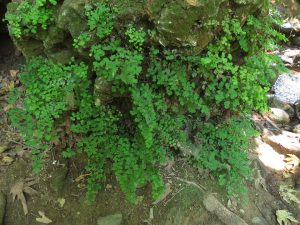 Maidenhair fern. Snir Stream Nature Reserve