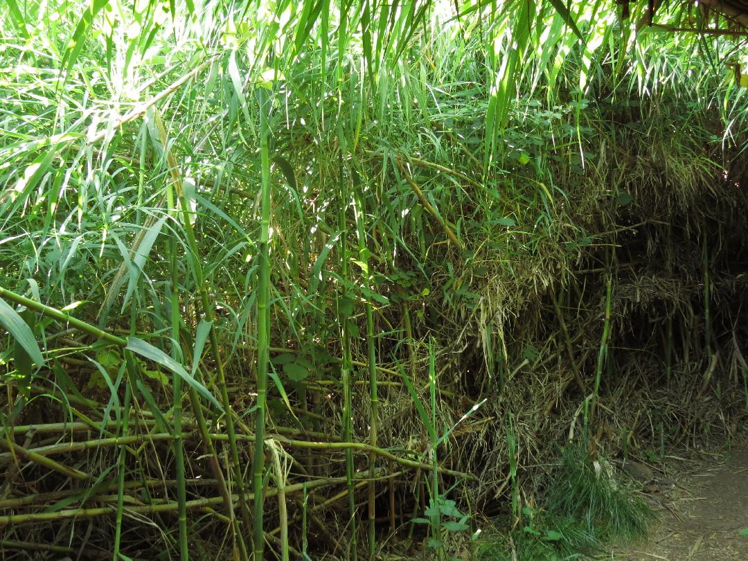 Sugar cane in Tel Dan Reserve