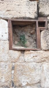 Caper growing in wall at Agrippa Palace, Bania