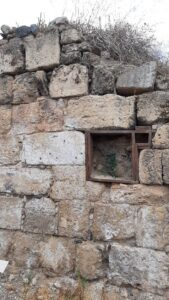 Caper growing in wall at Agrippa Palace, Banias