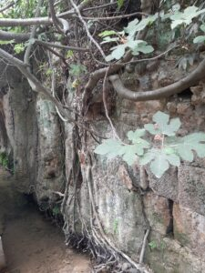Fig over water. Banias Nature Reserve