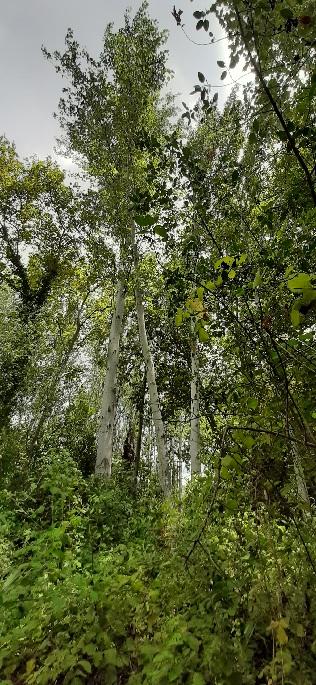 Poplar trees. Banias Nature Reserve
