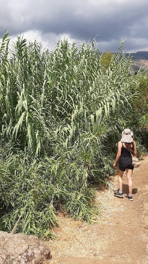 Spanish or sugar cane at Banias Nature Reserve.
