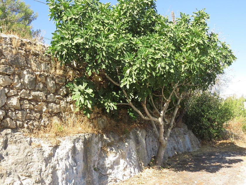 Beautiful fig by old wall . Madregot Habikur Rd. Ein Kerem