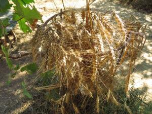 Harvested wheat at Yashar's courtyard in Ein Kerem